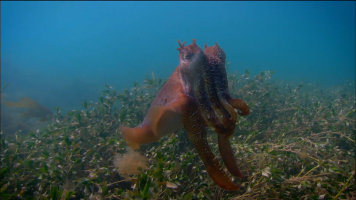 Camouflaging Cuttlefish