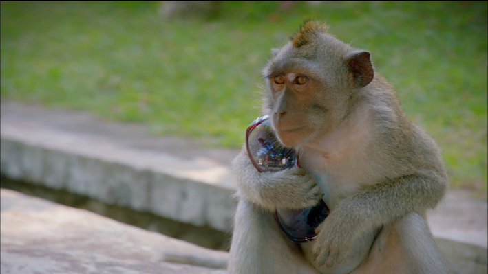 Learned Behavior and Culture in Thieving Macaque Monkeys