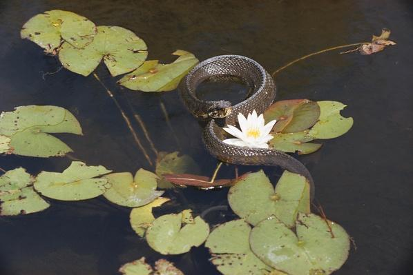 A cottonmouth water moccasin swims past water lilies | Animals, Habitats, and Ecosystems