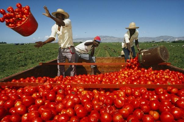 Galapagos Islands. Tomato Harvesting | Earth's Resources