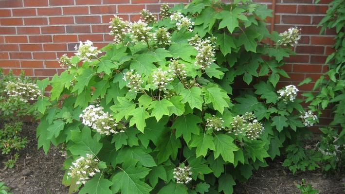 Medium sized hydrangea shrub with cone-shaped blooms just starting to open. Green leaves are shaped like oak leaves.