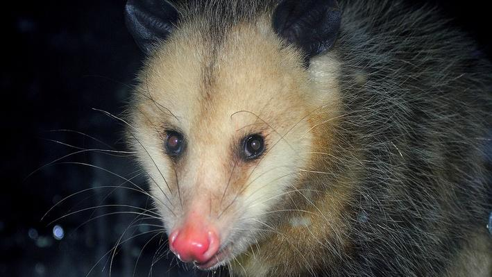 close-up of gray opossum with pink nose in the dark