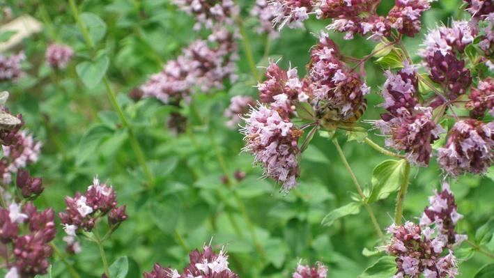 fluffy purple oregano at the end of long stems