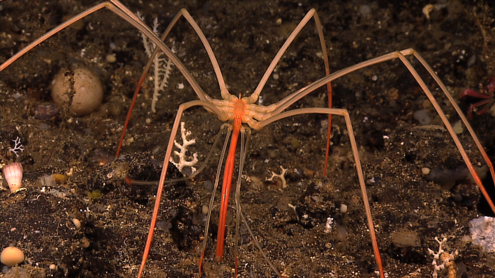 Deep Sea Spider | Ocean Today