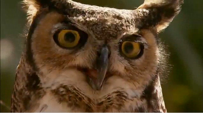 Cool Critters: Great Horned Owl
