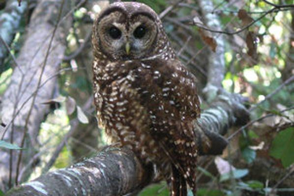 Spotted Owls Face New Threats | QUEST