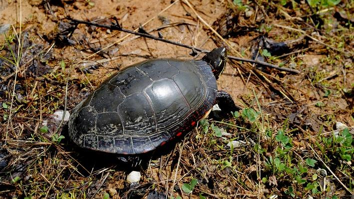 Painted turtle from behind walking through mud and grass