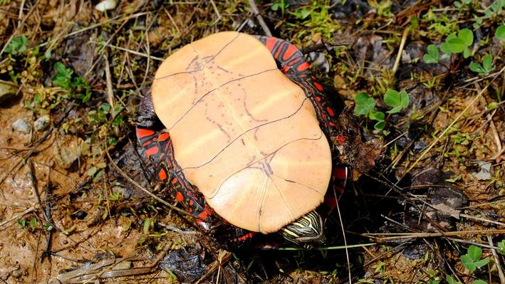 Underside of painted turtle in grass