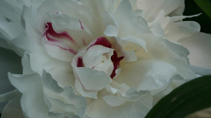 close up of a very full white peony bloom with a bit of magenta in the center