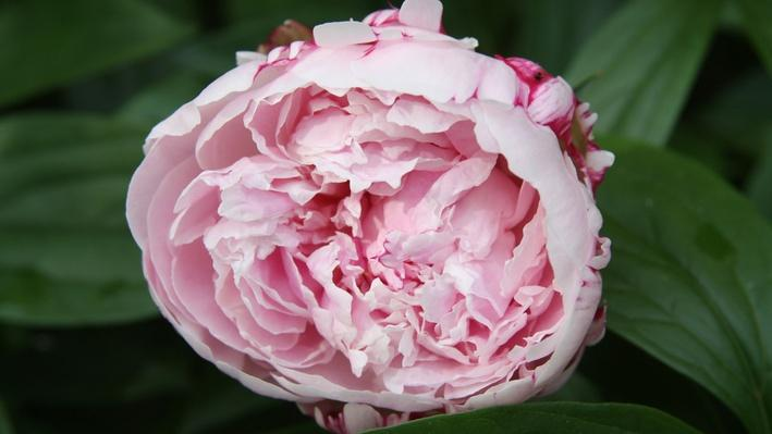 close up of a very full, but not entirely open, pink peony bloom with a bit of magenta in the center