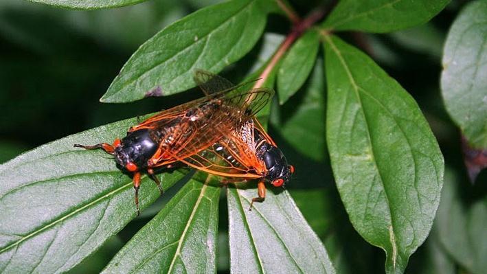 Two periodical cicadas