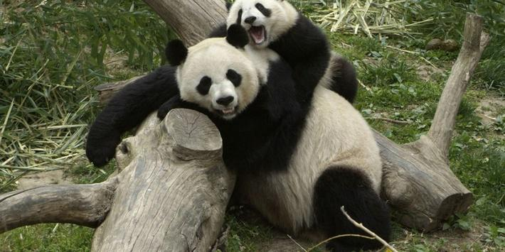 The Challenges of Breeding Pandas in Captivity
