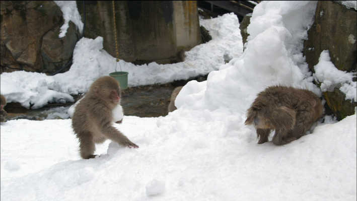 Snow Monkeys: The Importance of Play