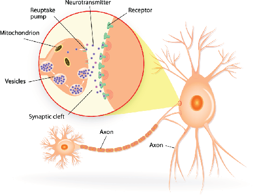 Structure of A Typical Chemical Synapse | Clipart