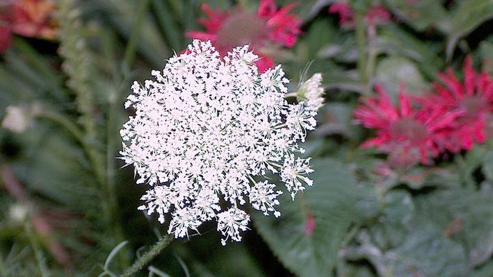 white lace-like flower from above