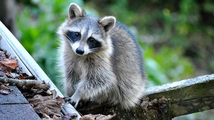 Small raccoon sitting in a wooden fence