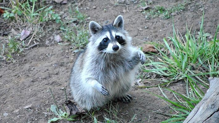 Small raccoon on the ground with front paws in the air