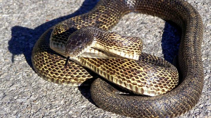 Rat snake coiled on asphalt