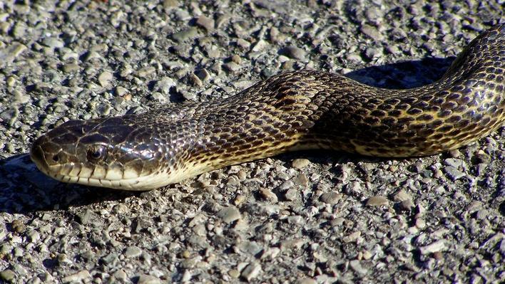 Extreme close up of black rat snake on asphalt