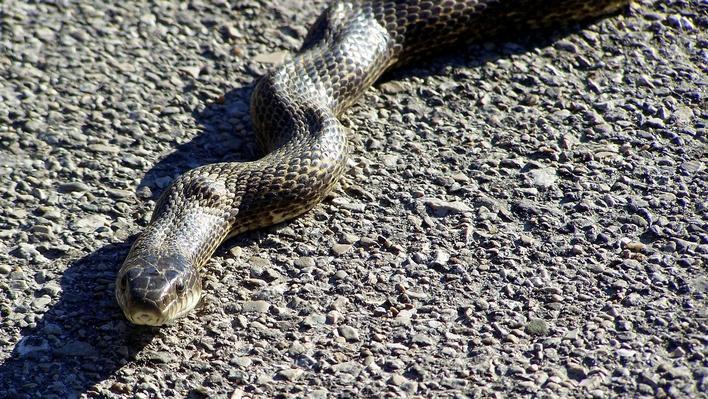 Close of up black rat snake on asphalt