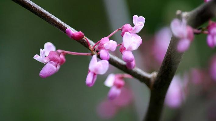 small purple buds clustered along a branch from a redbud