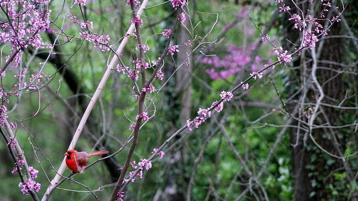 bright red cardinal bird sitting a red bud with branches covered in clusters of small purple buds