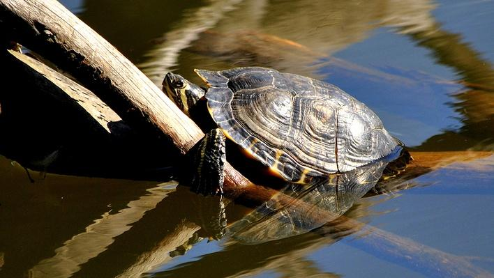 Red-eared slider sitting on a branch halfway out of water