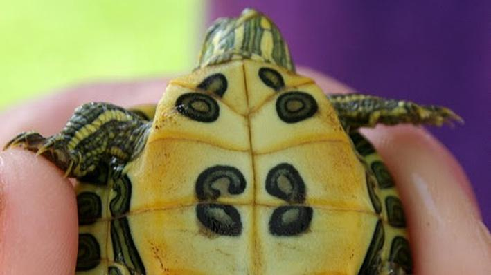 Close up of hand holding tiny baby red-eared slider with underside of turtle showing
