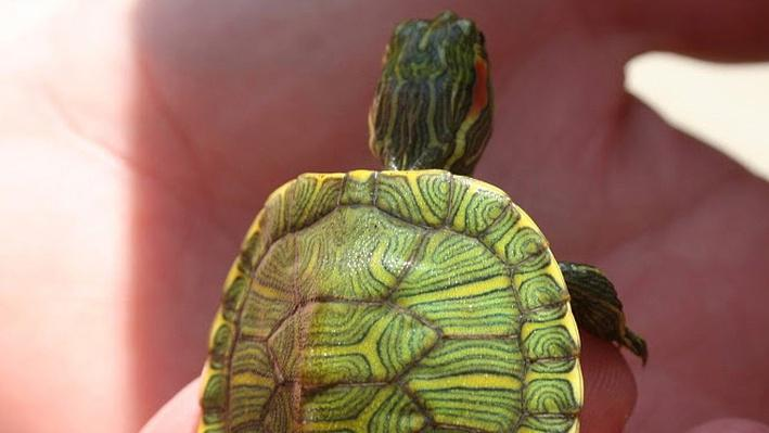 Close up of hand holding tiny baby red-eared slider