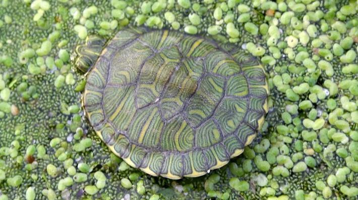 baby red-eared slider partially submerged in water