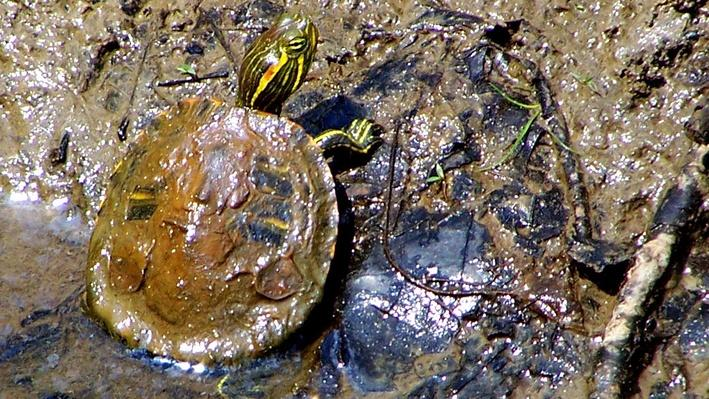 Red-eared slider covered in mud