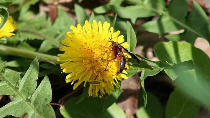 Red wasp on dandelion