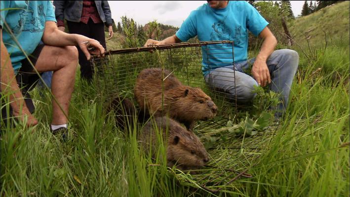 Reintroducing Beavers