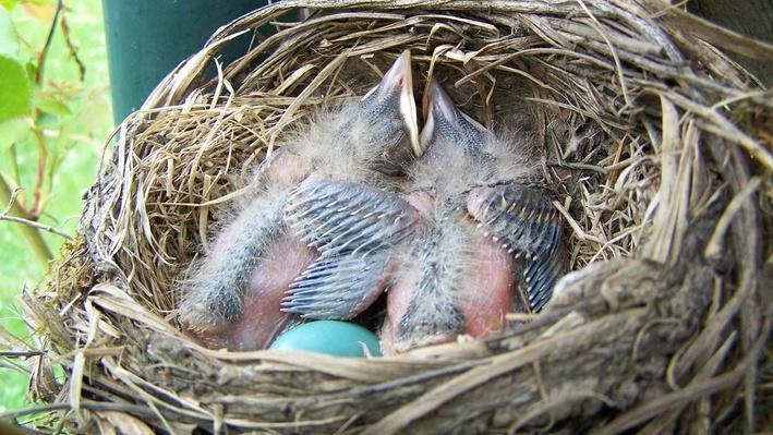 Two baby robins with blue egg