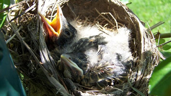 Young robin with mouth open
