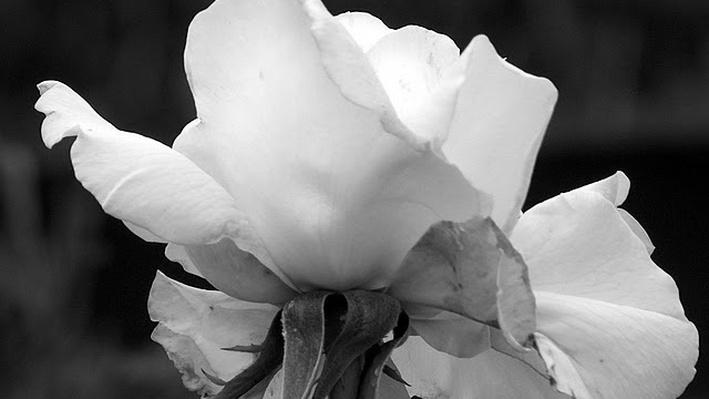 Black and white photo of an opened rose bloom from slightly below