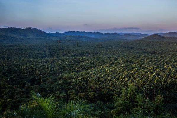 Yuzana Palm Oil Plantation   Global Oneness Project