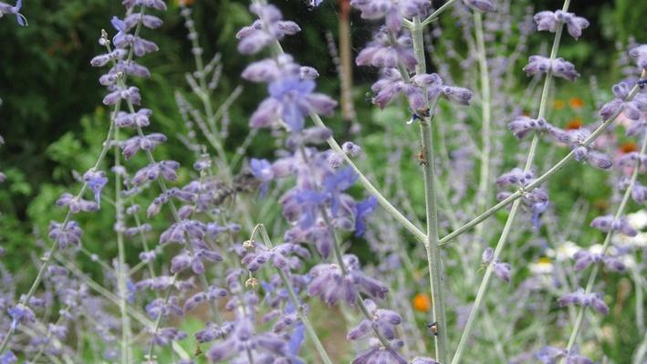 many tall thin stems covered in tiny purple flowers