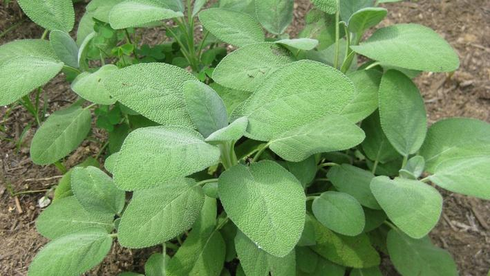 sage plant with soft grey-green leaves