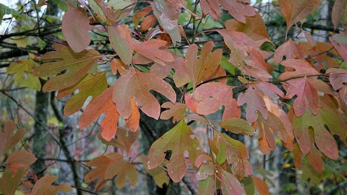close up of rusty orange sassafras leaves