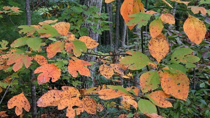 bright orange and green leaves of sassafras trees in a wooded area