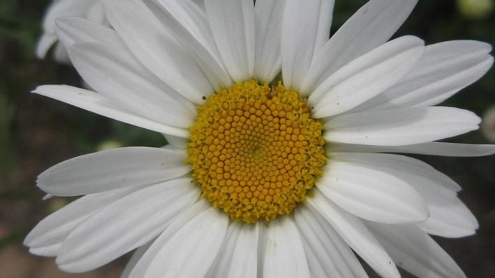 close up of daisy with white petals and big yellow center