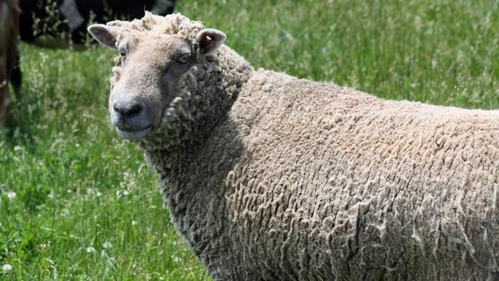 Close-up of sheep standing in grassy field