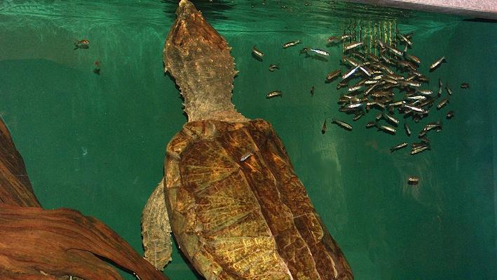 Underwater snapping turtle surrounded by small fish