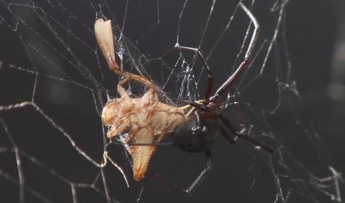 Stealing the Secrets of Spider Silk | Inside Science
