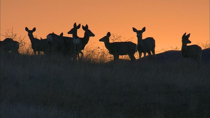 Color photo of a group of deer standing on a hilltop, silhouetted against the sky at sunset.