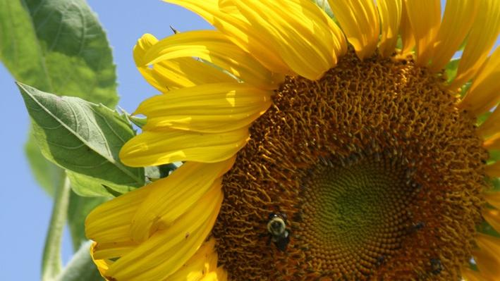 Close up of large yellow sunflower with orangish-brown center. A few bees are sitting in the center.