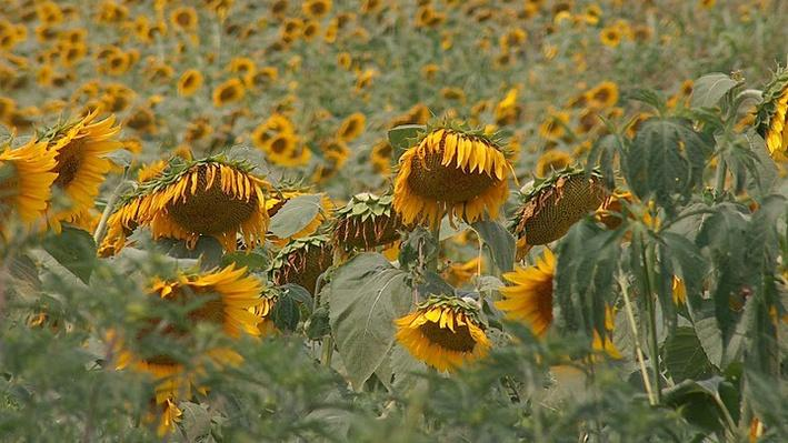 Field of hundreds of large yellow sunflowers with brown middles