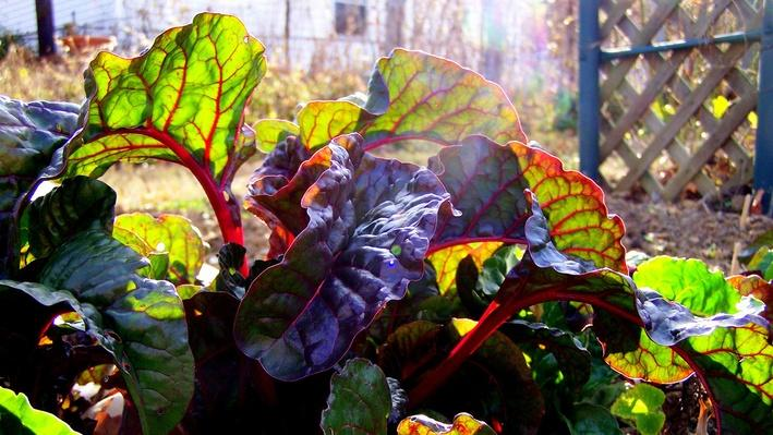 Green and purple-ish chard leaves with red veining. Sun is shining through.