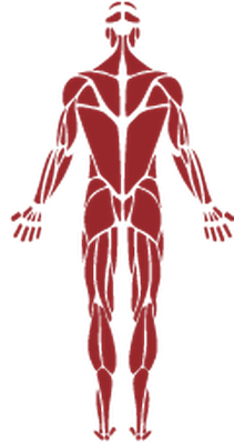 Human Muscle | Clipart